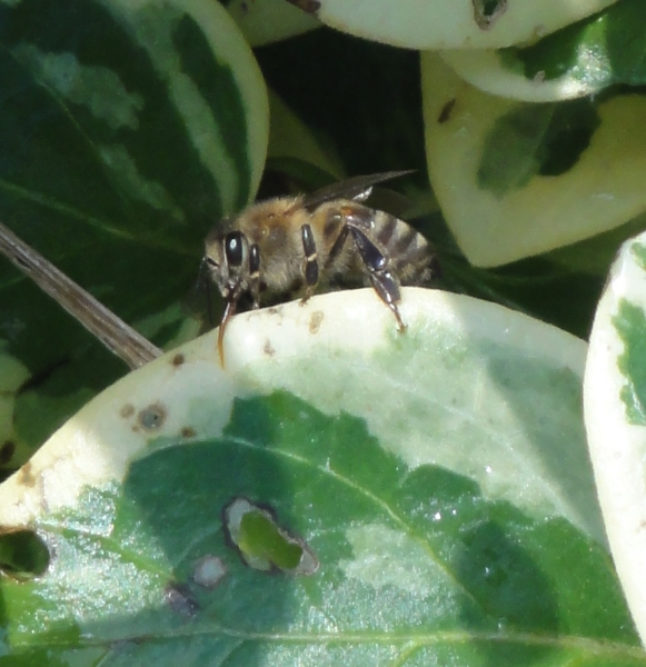 bee-collecting-water-2